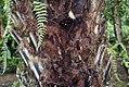 Elaeis guineensis 22zz.jpg
