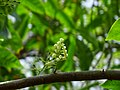 Elaeocarpus ganitrus 06.jpg