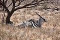 Eland (Taurotragus oryx) male resting in the shade ... (50221612366).jpg