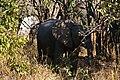 Elephant, Ruaha National Park (23) (28648641621).jpg