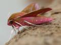Elephant hawk moth - deilephila elpenor (40709361550).png