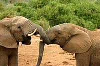 Elephants mating ritual 2.jpg