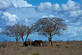 Elephants under the trees (5232129157).jpg