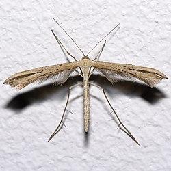 Emmelina.monodactyla.7580.jpg