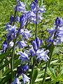 English Bluebells in Gunnersbury Triangle.JPG