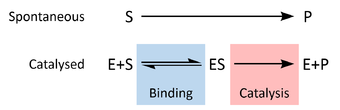 Schematic reaction diagrams for uncatalzyed (Substrate to Product) and catalyzed (Enzyme + Substrate to Enzyme/Substrate complex to Enzyme + Product)