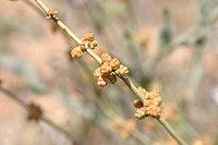 Ephedra-nevadensis-cones.jpg