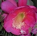 Epiphyllum 2015-06-01 OB 246b.jpg
