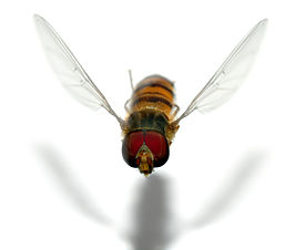 Episyrphus balteatus male - flying (aka).jpg