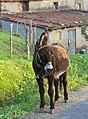 Equus asinus - Burro - Donkey - 01.jpg