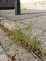 Eragrostis minor sl1.jpg