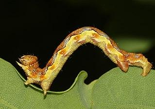 Erannis-defoliaria-Raupe-Frostspanner.jpg