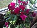 Ericales - Cyclamen persicum cultivars - 7.jpg