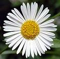 Erigeron karvinskianus - blossom top (aka).jpg