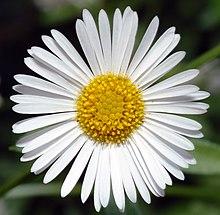 Erigeron karvinskianus - Wikipedia, la enciclopedia libre White Daisy Flowers Clipart