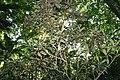 Eriobotrya japonica 8zz.jpg
