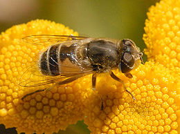 Eristalis abusiva