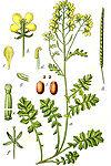 Erucastrum lamarckii Sturm36