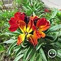 Erysimum cheiri (L.) Crantz, biennial plant.jpg