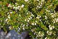 Escallonia alpina-CTJ-IMG 7213.jpg