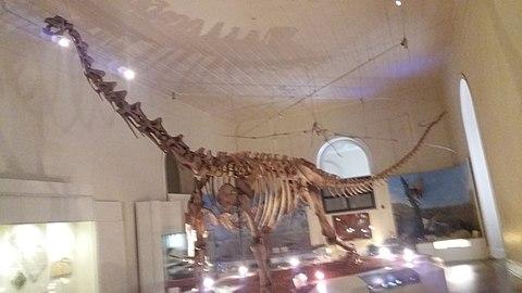 Esqueleto de maxacalissauro.jpg