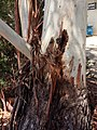 Eucalyptus brookeriana - trunk base bark.jpg