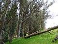 Eucalyptus globulus (Blue Gum) Crater Rd., Maui May 20, 2016 (27110262646).jpg
