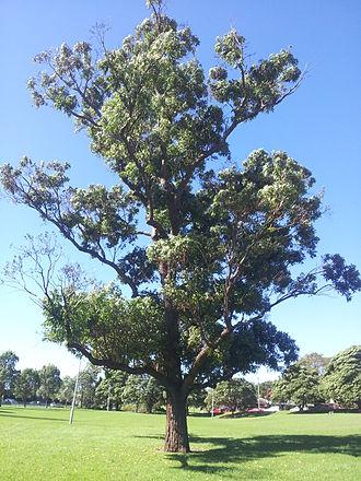 Eucalyptus robusta - Remnant E. robusta tree, Haberfield, NSW