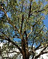 Eucalyptys smithii - upper branch bark.jpg