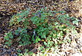 Eupatorium cannabinum (Eupatorium heterophyllum) - Quarryhill Botanical Garden - DSC03369.JPG