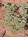 Euphorbia fendleri kz01.jpg
