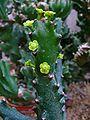 Euphorbia mayurnathanii 001.JPG