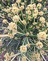 Euphorbia tirucalli01.jpg