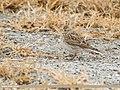 Eurasian Skylark (Alauda arvensis) (49049099351).jpg