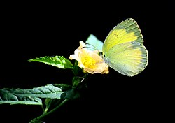 Eurema hecabe (Common Grass Yellow).JPG