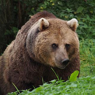 Eurasian brown bear subspecies of brown bear