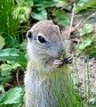 European Ground Squirrel (cropped).jpg