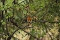 European Robin - Erithacus rubecula (45114886411).jpg