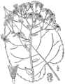 Eurybia macrophylla BB-1913-1.png