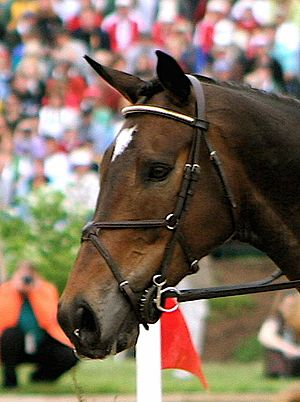 Noseband - Figure-eight noseband.