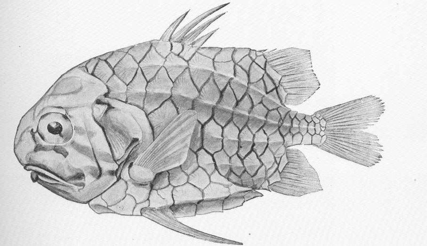 Fish scale - The Reader Wiki, Reader View of Wikipedia