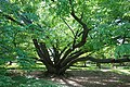 Fagus engleriana - Morris Arboretum - DSC00475.JPG