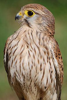 Falco 003.jpg
