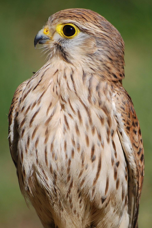 Falco 003