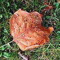 Fallen leaf - Flickr - Stiller Beobachter.jpg