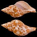 Fasciolaria tulipaProfils.jpg