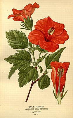 Favourite flowers of garden and greenhouse (Pl. 49) (7789088308).jpg