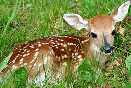 Fawn-in-grass