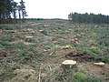 Felled Trees at Nether Pike Plantation - geograph.org.uk - 1172095.jpg