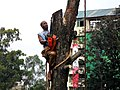 Felling trees 1.jpg